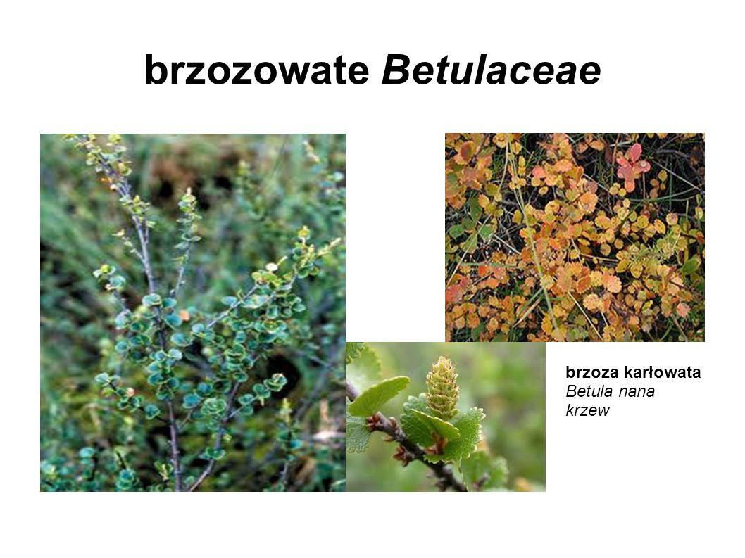 brzozowate Betulaceae brzoza karłowata Betula nana krzew