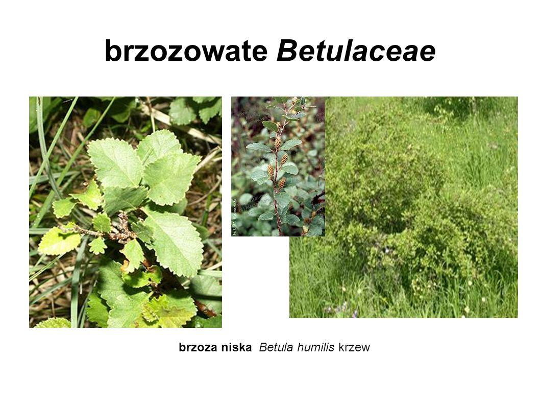 brzozowate Betulaceae brzoza niska Betula humilis krzew