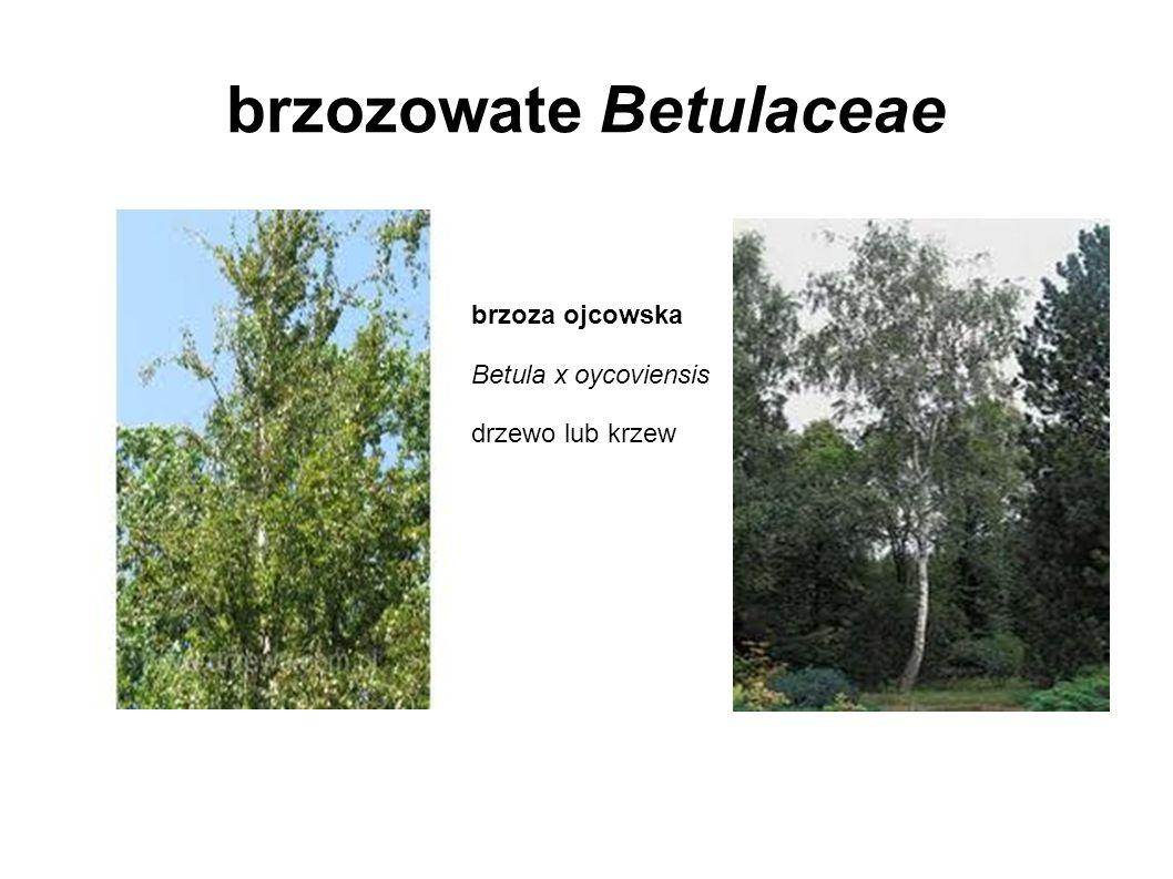brzozowate Betulaceae brzoza ojcowska Betula x oycoviensis drzewo lub krzew