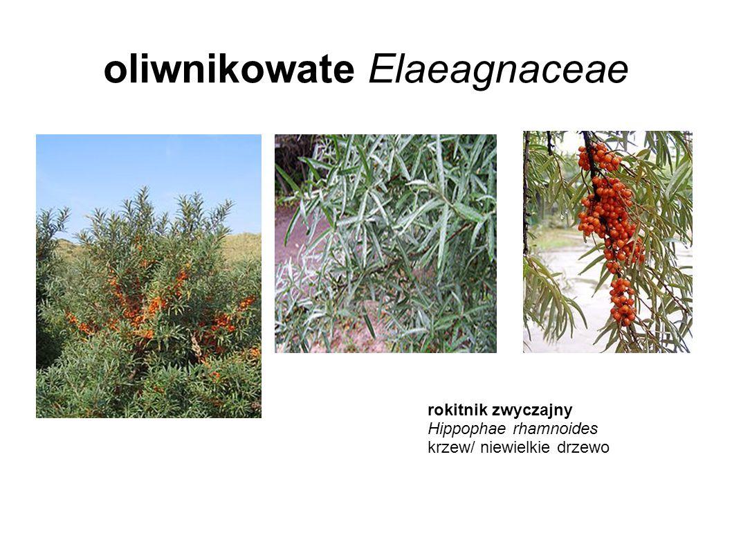 oliwnikowate Elaeagnaceae rokitnik zwyczajny Hippophae rhamnoides krzew/ niewielkie drzewo