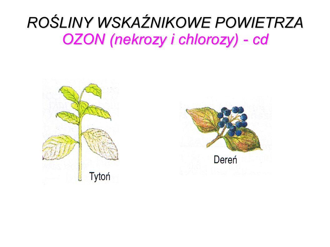 ROŚLINY WSKAŹNIKOWE POWIETRZA OZON (nekrozy i chlorozy) - cd