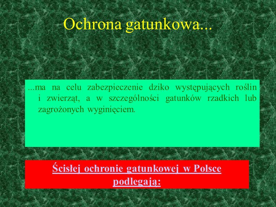Konwalia majowa (Convallaria majalis)