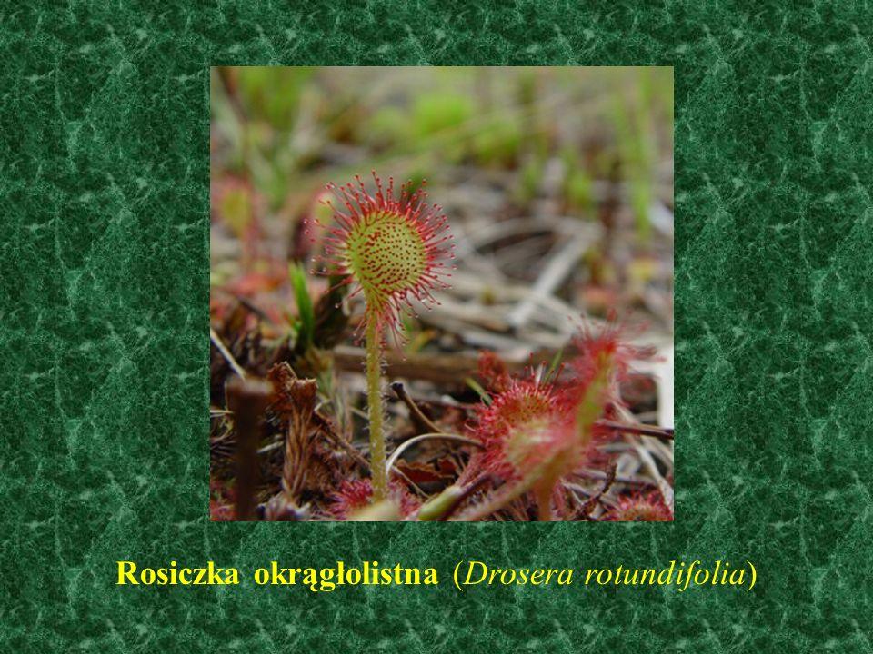 Rosiczka okrągłolistna (Drosera rotundifolia)