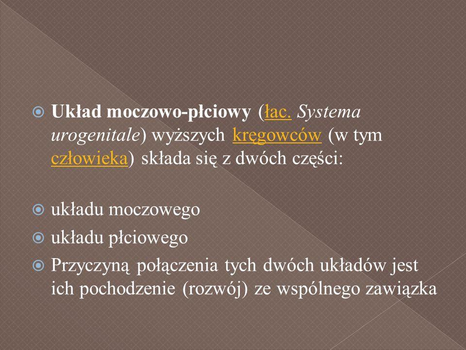 Układ moczowo-płciowy (łac. Systema urogenitale) wyższych kręgowców (w tym człowieka) składa się z dwóch części:łac.kręgowców człowieka układu moczowe