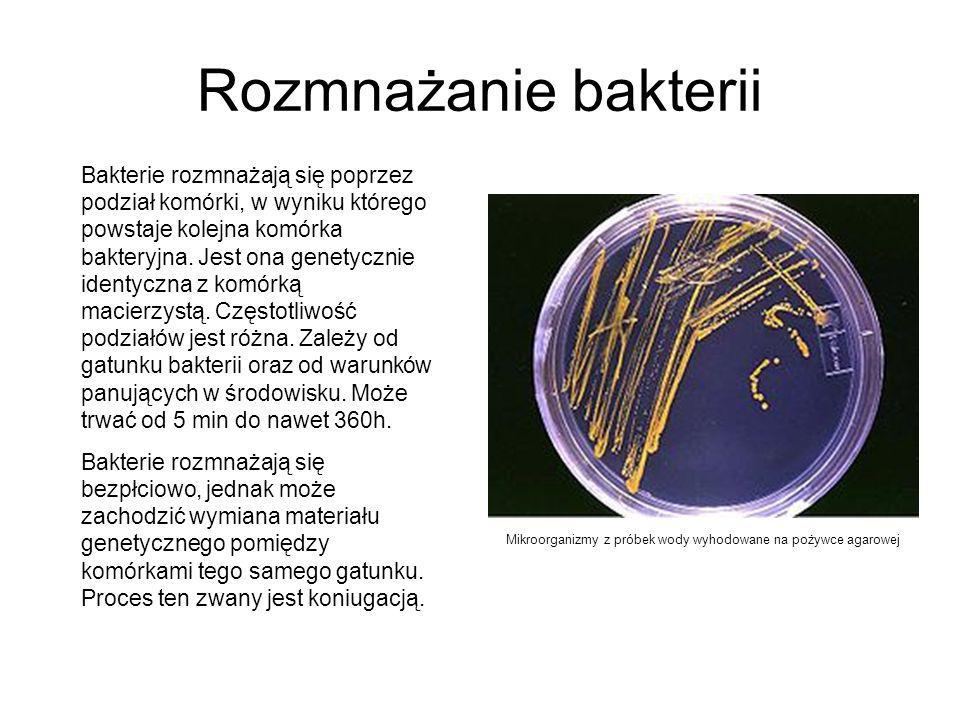 Rozmnażanie bakterii Bakterie rozmnażają się poprzez podział komórki, w wyniku którego powstaje kolejna komórka bakteryjna. Jest ona genetycznie ident