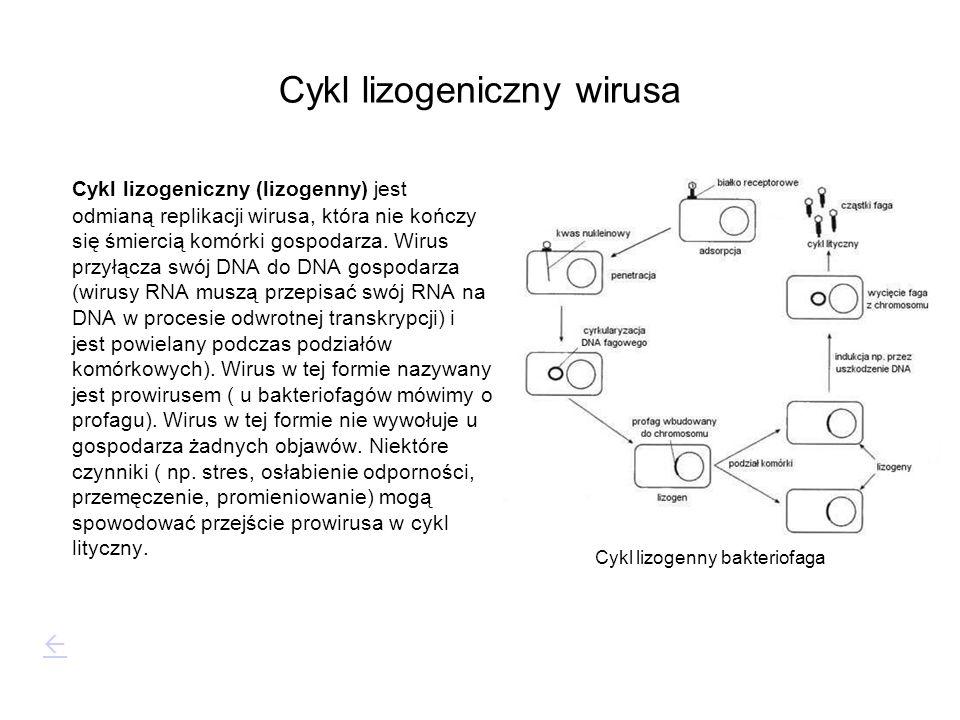 Cykl lizogeniczny wirusa Cykl lizogeniczny (lizogenny) jest odmianą replikacji wirusa, która nie kończy się śmiercią komórki gospodarza. Wirus przyłąc