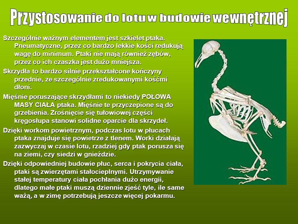 Szczególnie ważnym elementem jest szkielet ptaka. Pneumatyczne, przez co bardzo lekkie kości redukują wagę do minimum. Ptaki nie mają również zębów, p