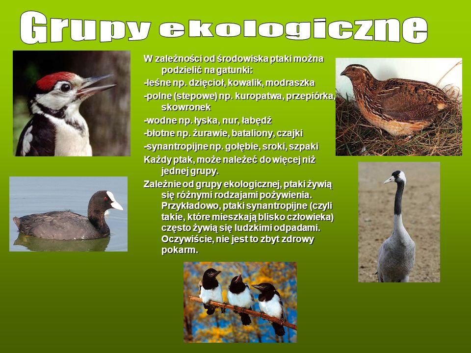 W zależności od środowiska ptaki można podzielić na gatunki: -leśne np. dzięcioł, kowalik, modraszka -polne (stepowe) np. kuropatwa, przepiórka, skowr