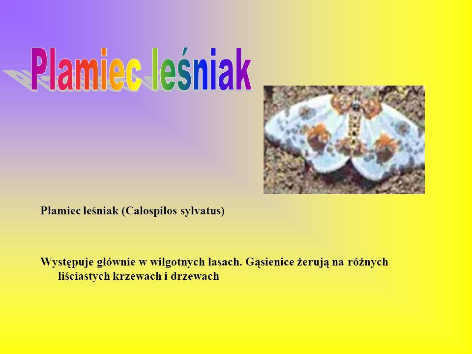 Bielinek bytomkowiec (Pieris brassicae) Gatunek zaliczany do szkodników. Pojawia się na polach, w ogrodach na skrajach lasów. Gąsienice odżywiają się