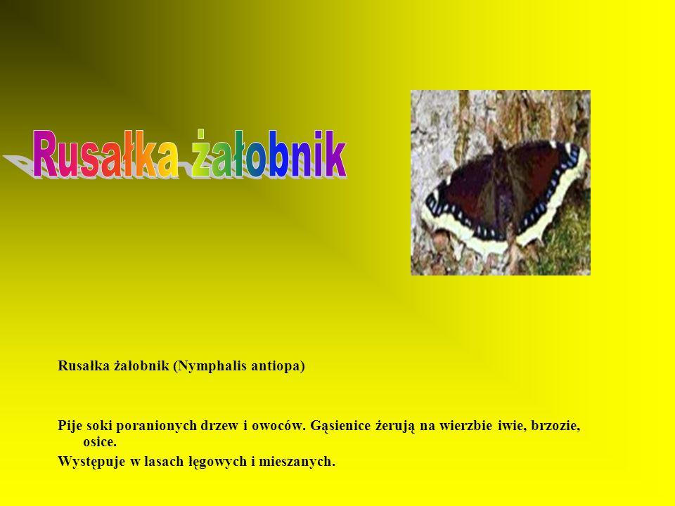Rusałka admirał (Vanessa atalanta) Pije soki poranionych drzew, gąsienice żerują na liściach pokrzyw. Przylatuje z południowej Europy. Występuje na sk