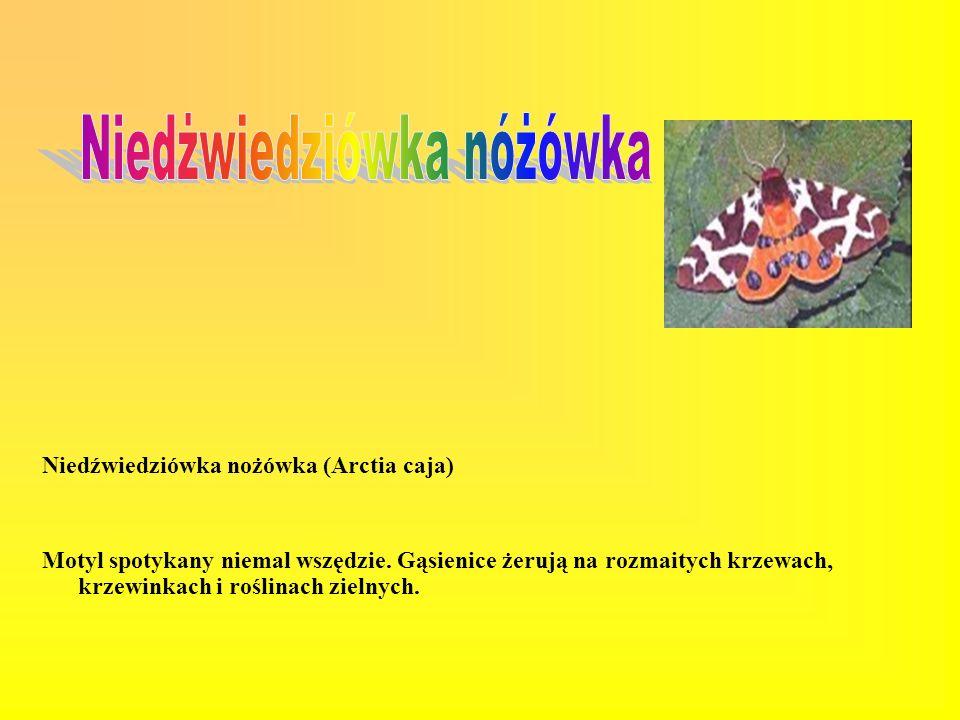 Rusałka żałobnik (Nymphalis antiopa) Pije soki poranionych drzew i owoców. Gąsienice żerują na wierzbie iwie, brzozie, osice. Występuje w lasach łęgow