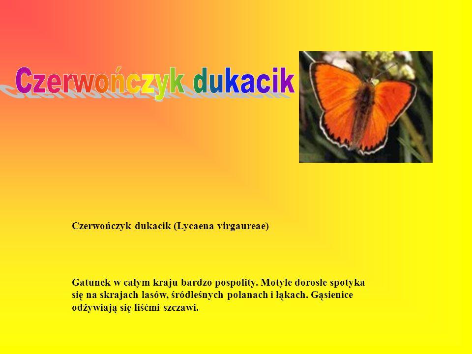 Niedźwiedziówka nożówka (Arctia caja) Motyl spotykany niemal wszędzie. Gąsienice żerują na rozmaitych krzewach, krzewinkach i roślinach zielnych.