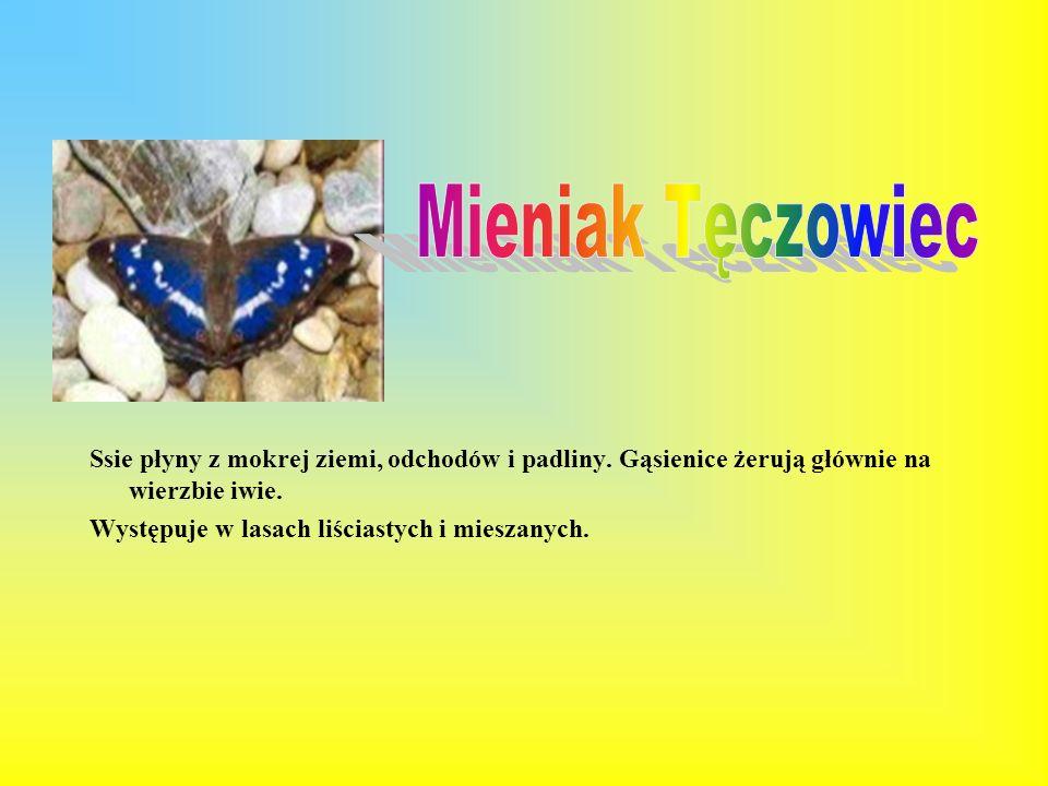 Listkowiec cytrynek zwany również latolistek cytrynek. Jest to jedyny europejski motyl zimujący Skrzydła samców są cytrynowożółte, natomiast skrzydła