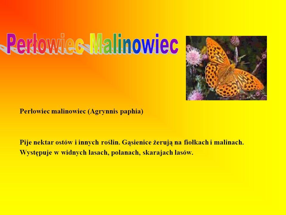 Perłowiec malinowiec (Agrynnis paphia) Pije nektar ostów i innych roślin.