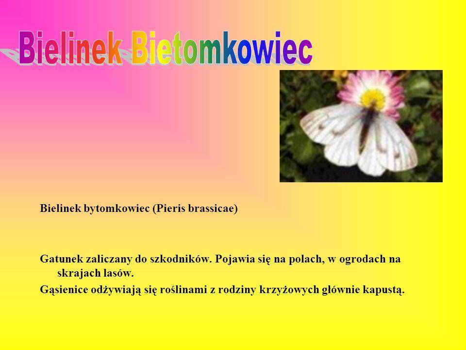 Bielinek bytomkowiec (Pieris brassicae) Gatunek zaliczany do szkodników.