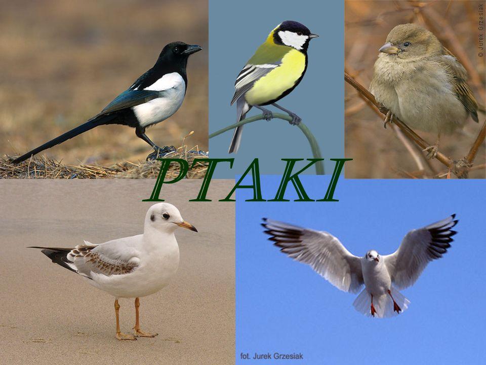 Ptaki Polski Liczba gatunków ptaków (Aves) stwierdzonych w Polsce i wpisanych na listę awifauny naszego kraju wynosiła 31 grudnia 2006 444 (wg podziału przyjętego przez Komisję Faunistyczną Sekcji Ornitologicznej Polskiego Towarzystwa Zoologicznego, która zajmuje się weryfikacją obserwacji).