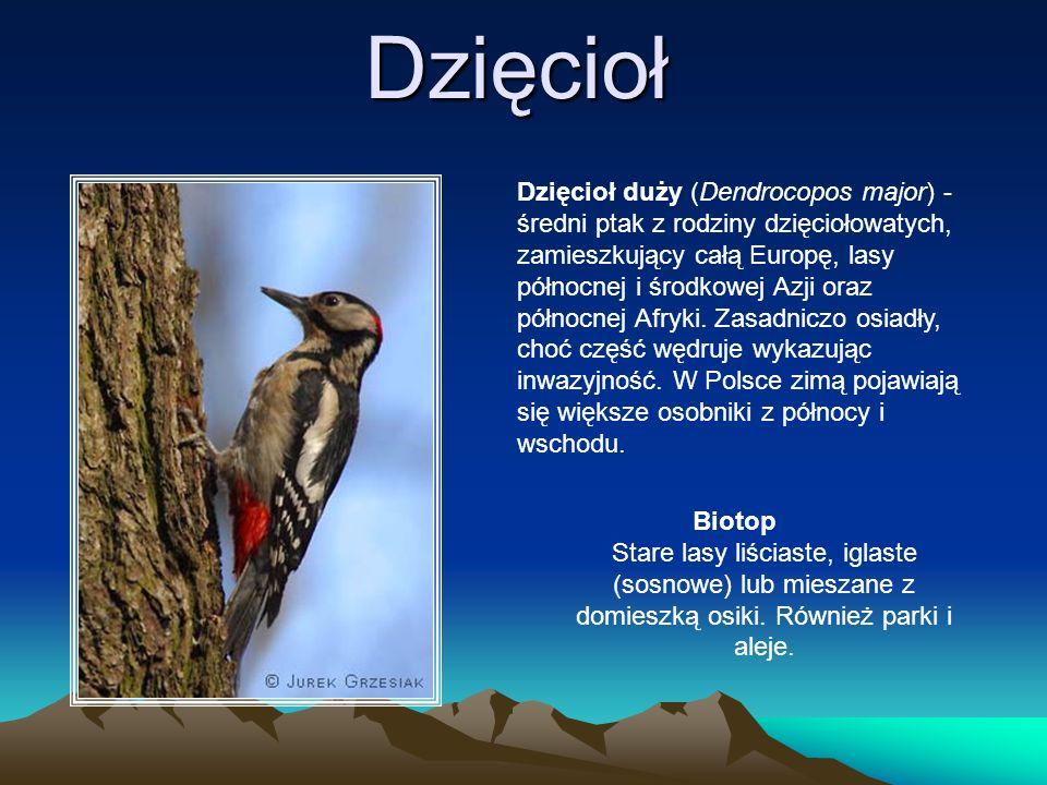 Dzięcioł Dzięcioł duży (Dendrocopos major) - średni ptak z rodziny dzięciołowatych, zamieszkujący całą Europę, lasy północnej i środkowej Azji oraz pó