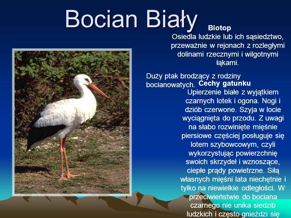 Bocian Biały Duży ptak brodzący z rodziny bocianowatych. Biotop Osiedla ludzkie lub ich sąsiedztwo, przeważnie w rejonach z rozległymi dolinami rzeczn