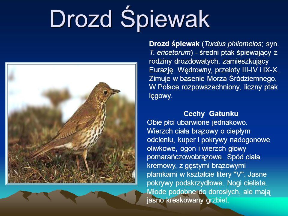Drozd Śpiewak Drozd śpiewak (Turdus philomelos; syn. T. ericetorum) - średni ptak śpiewający z rodziny drozdowatych, zamieszkujący Eurazję. Wędrowny,