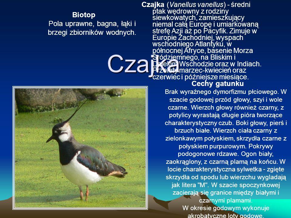 Czajka Czajka (Vanellus vanellus) - średni ptak wędrowny z rodziny siewkowatych, zamieszkujący niemal całą Europę i umiarkowaną strefę Azji aż po Pacy