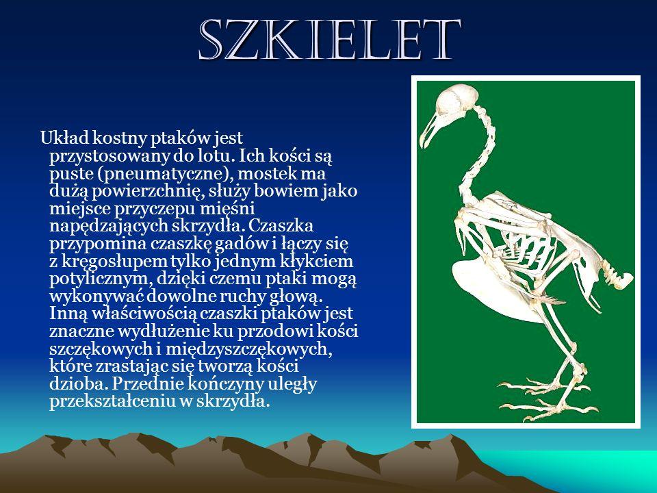 Szkielet Układ kostny ptaków jest przystosowany do lotu. Ich kości są puste (pneumatyczne), mostek ma dużą powierzchnię, służy bowiem jako miejsce prz
