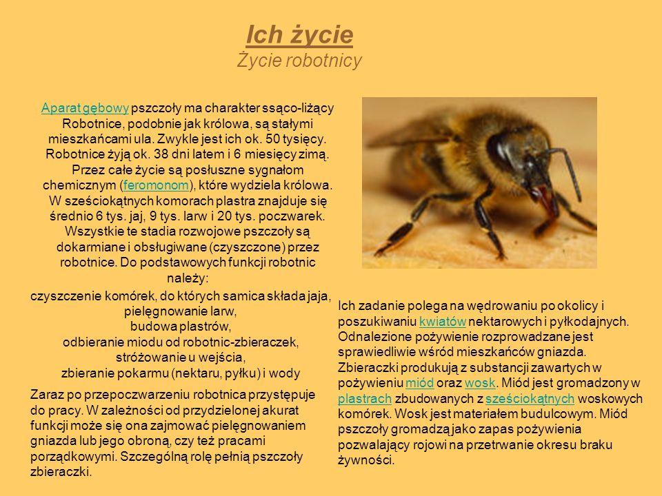 Ich życie Życie robotnicy Aparat gębowyAparat gębowy pszczoły ma charakter ssąco-liżący Robotnice, podobnie jak królowa, są stałymi mieszkańcami ula.