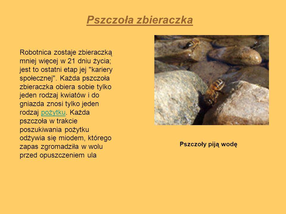 Pszczoła zbieraczka Pszczoły piją wodę Robotnica zostaje zbieraczką mniej więcej w 21 dniu życia; jest to ostatni etap jej