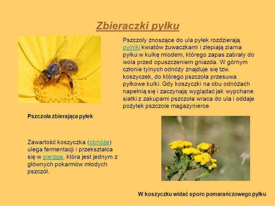 Zbieraczki pyłku Pszczoła zbierająca pyłek W koszyczku widać sporo pomarańczowego pyłku Pszczoły znoszące do ula pyłek rozdzierają pylniki kwiatów żuw