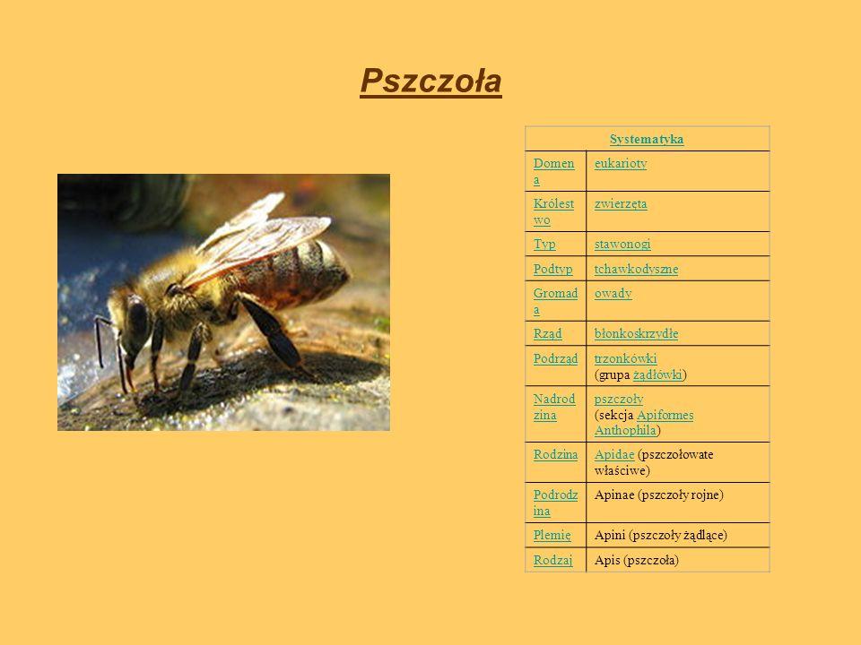 Pszczoła Systematyka Domen a eukarioty Królest wo zwierzęta Typstawonogi Podtyptchawkodyszne Gromad a owady Rządbłonkoskrzydłe Podrządtrzonkówki trzon