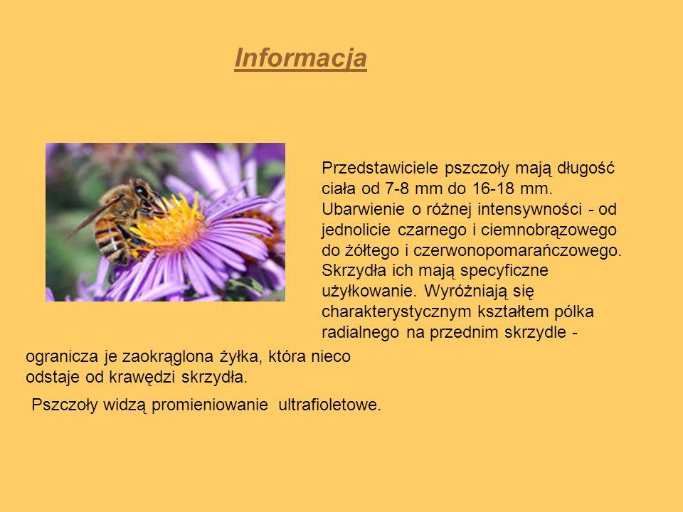 Informacja Przedstawiciele pszczoły mają długość ciała od 7-8 mm do 16-18 mm. Ubarwienie o różnej intensywności - od jednolicie czarnego i ciemnobrązo