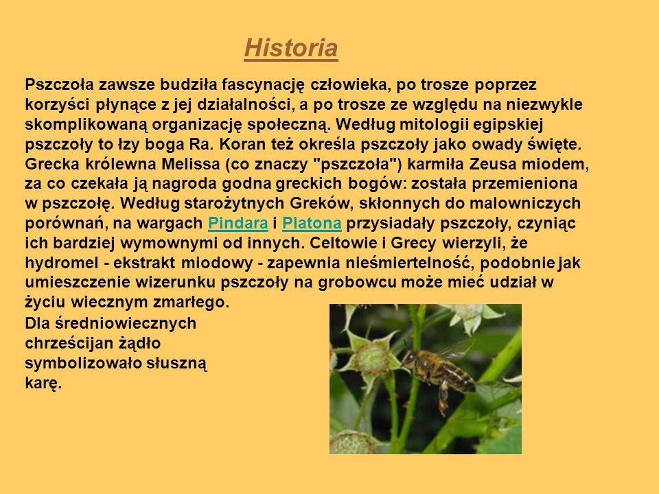 Historia Pszczoła zawsze budziła fascynację człowieka, po trosze poprzez korzyści płynące z jej działalności, a po trosze ze względu na niezwykle skom