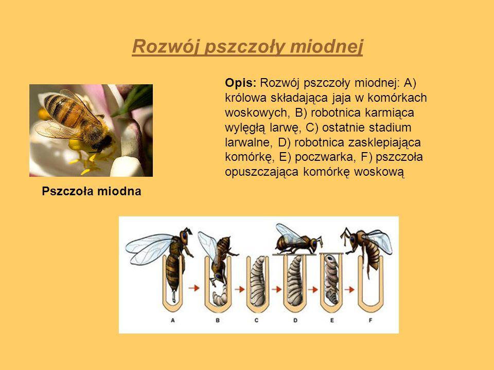 Rozwój pszczoły miodnej Opis: Rozwój pszczoły miodnej: A) królowa składająca jaja w komórkach woskowych, B) robotnica karmiąca wylęgłą larwę, C) ostat