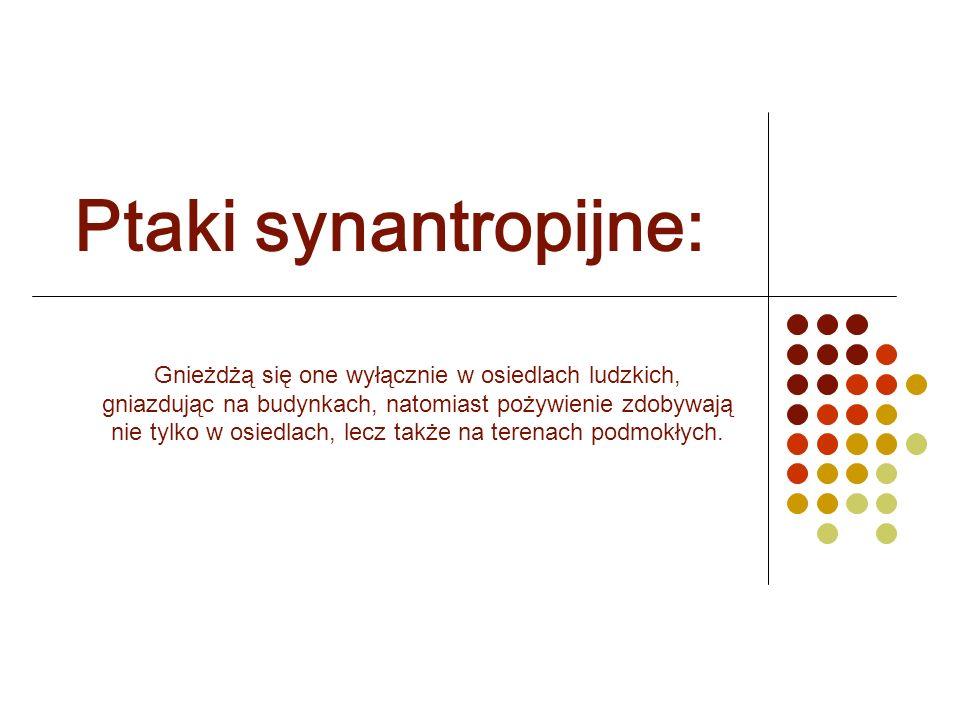 Ptaki synantropijne: Gnieżdżą się one wyłącznie w osiedlach ludzkich, gniazdując na budynkach, natomiast pożywienie zdobywają nie tylko w osiedlach, l