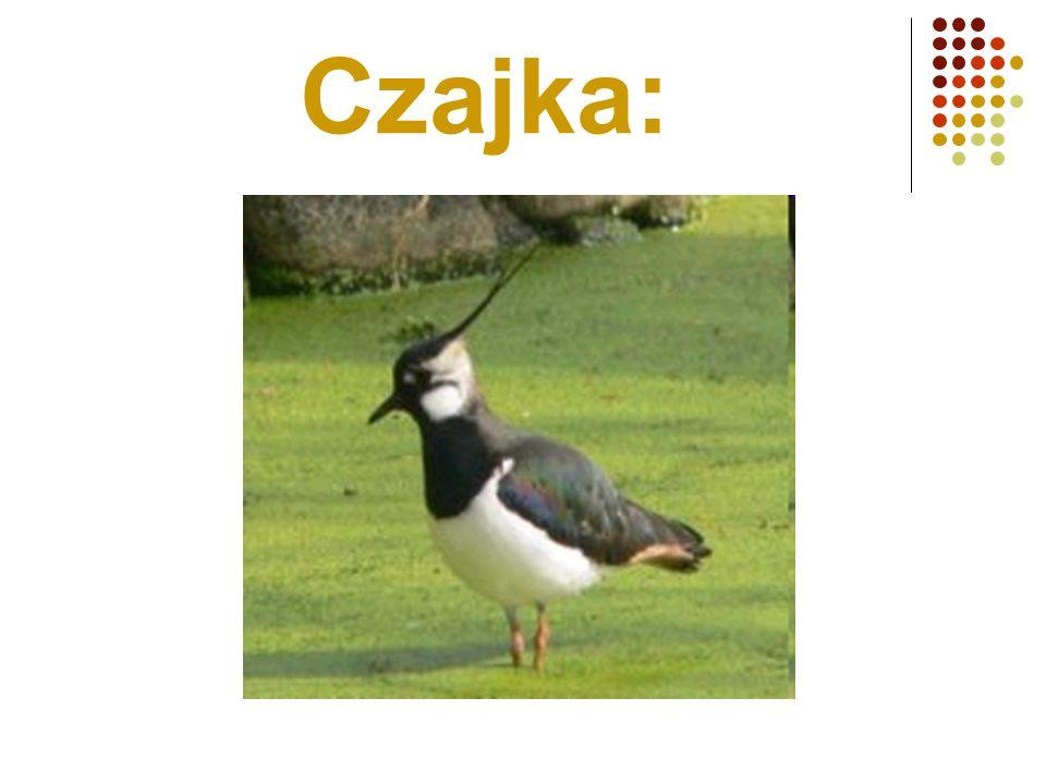 Czajka: