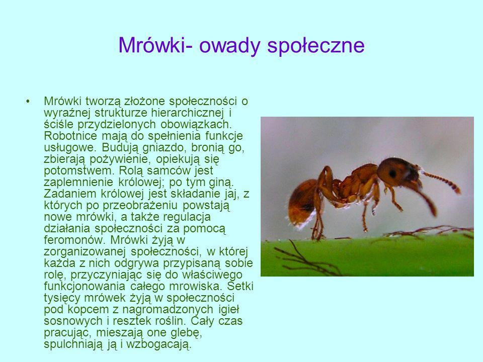 Mrówki- owady społeczne Mrówki tworzą złożone społeczności o wyraźnej strukturze hierarchicznej i ściśle przydzielonych obowiązkach.