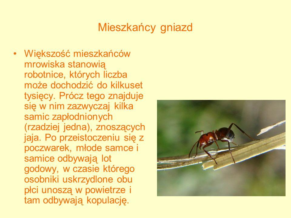 Rozwój larw Po kopulacji samce giną, a zapłodnione samice tracą skrzydła i albo zostają zabrane przez robotnice swego gatunku do jakiegoś istniejącego już mrowiska, albo zakładają nowe.