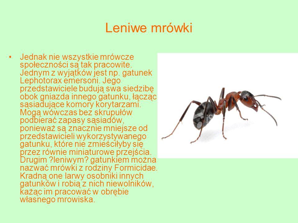 Leniwe mrówki Jednak nie wszystkie mrówcze społeczności są tak pracowite.
