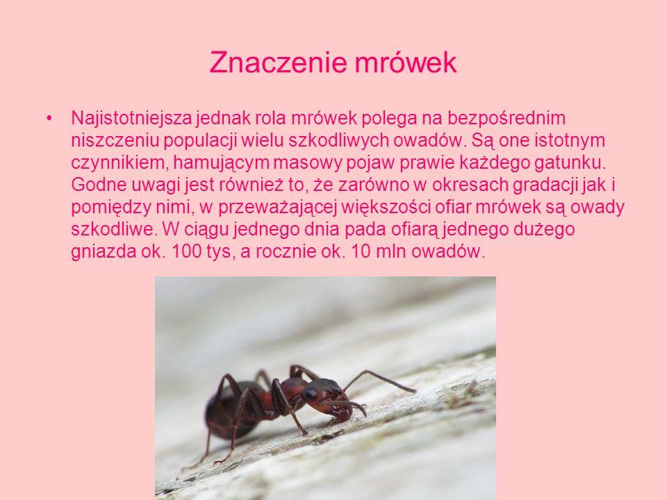 Znaczenie mrówek Najistotniejsza jednak rola mrówek polega na bezpośrednim niszczeniu populacji wielu szkodliwych owadów.