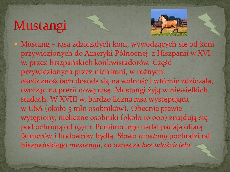 Mustang – rasa zdziczałych koni, wywodzących się od koni przywiezionych do Ameryki Północnej z Hiszpanii w XVI w.