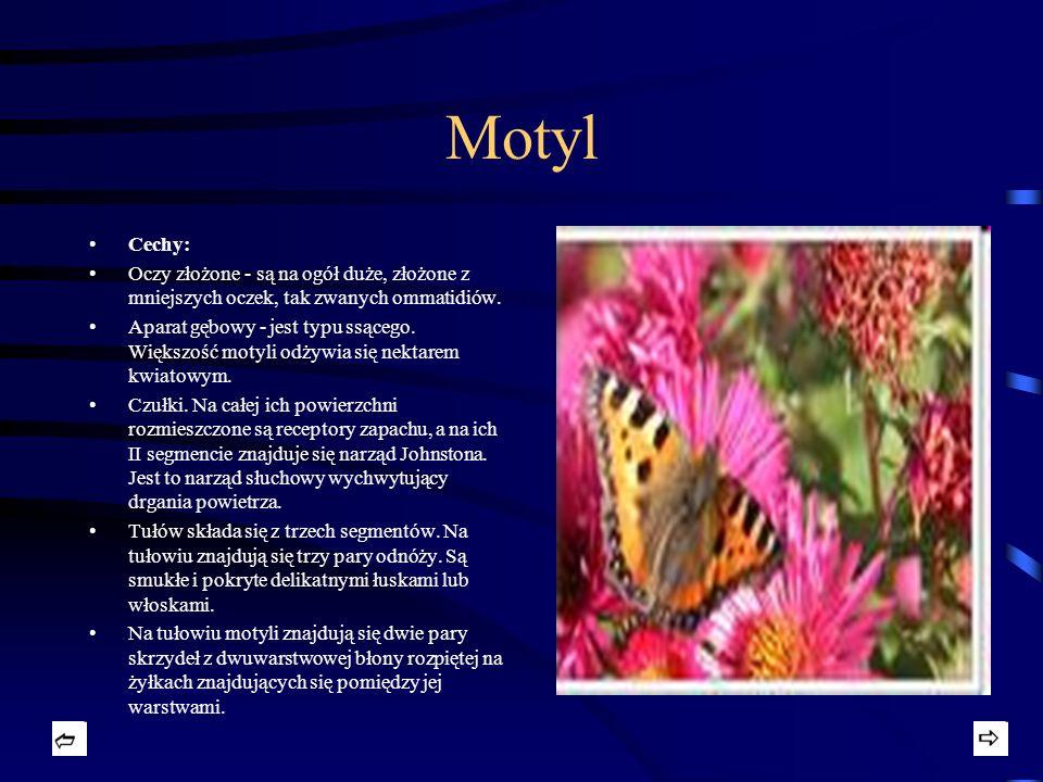 Motyl Cechy: Oczy złożone - są na ogół duże, złożone z mniejszych oczek, tak zwanych ommatidiów. Aparat gębowy - jest typu ssącego. Większość motyli o