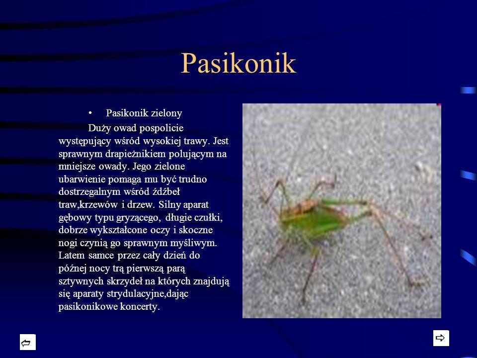 Pasikonik Pasikonik zielony Duży owad pospolicie występujący wśród wysokiej trawy. Jest sprawnym drapieżnikiem polującym na mniejsze owady. Jego zielo
