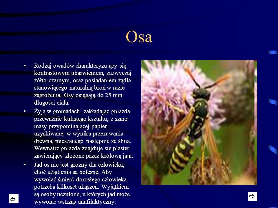 Osa Rodzaj owadów charakteryzujący się kontrastowym ubarwieniem, zazwyczaj żółto-czarnym, oraz posiadaniem żądła stanowiącego naturalną broń w razie z