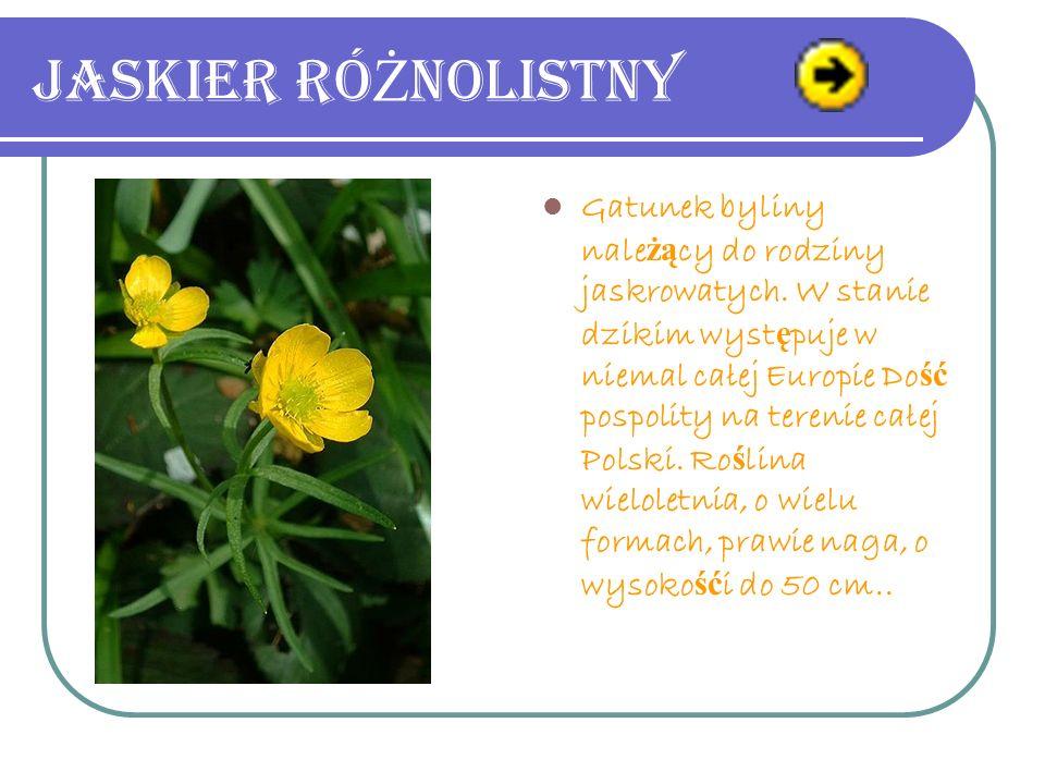 Jaskier ró Ż nolistny Gatunek byliny nale żą cy do rodziny jaskrowatych.