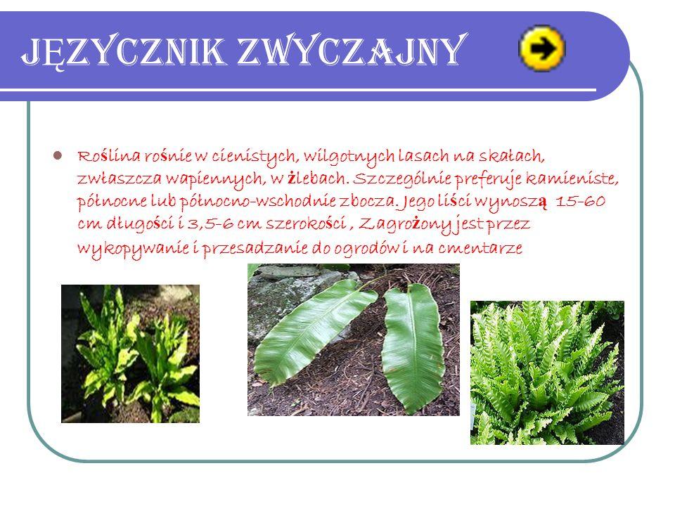 Jaskier ró Ż nolistny Gatunek byliny nale żą cy do rodziny jaskrowatych. W stanie dzikim wyst ę puje w niemal całej Europie Do ść pospolity na terenie