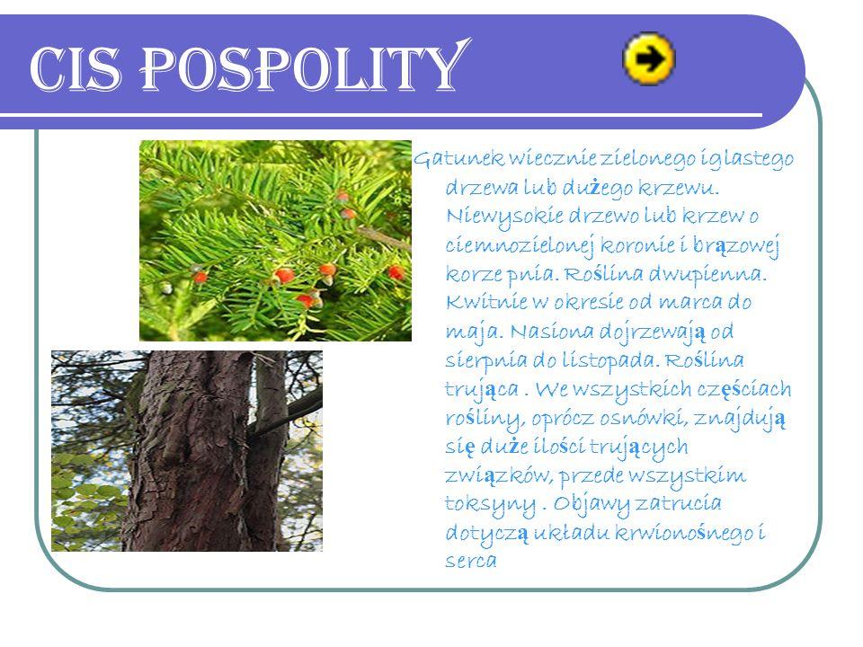 Gatunek wiecznie zielonego iglastego drzewa lub du ż ego krzewu.