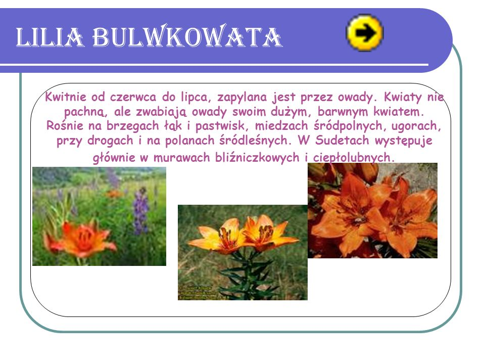 Lilia bulwkowata.Kwitnie od czerwca do lipca, zapylana jest przez owady.