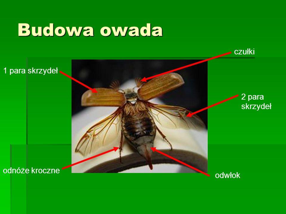 Budowa owada 1 para skrzydeł 2 para skrzydeł czułki odnóże kroczne odwłok