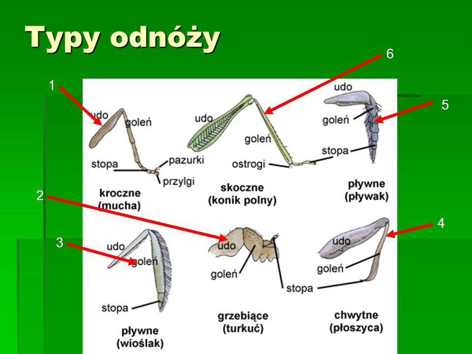 Chrabąszcz Ma 25-35 mm długości, owalne ciało, nieco wydłużone, czarne z białymi plamami na bokach odwłoka.