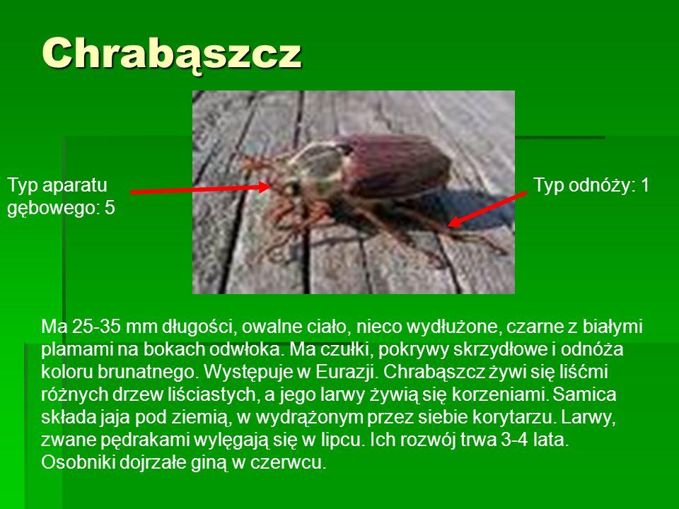 Chrabąszcz Ma 25-35 mm długości, owalne ciało, nieco wydłużone, czarne z białymi plamami na bokach odwłoka. Ma czułki, pokrywy skrzydłowe i odnóża kol