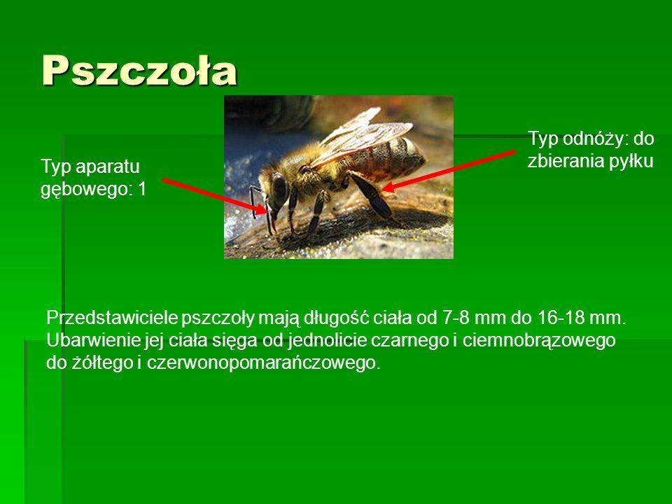 Pszczoła Przedstawiciele pszczoły mają długość ciała od 7-8 mm do 16-18 mm. Ubarwienie jej ciała sięga od jednolicie czarnego i ciemnobrązowego do żół